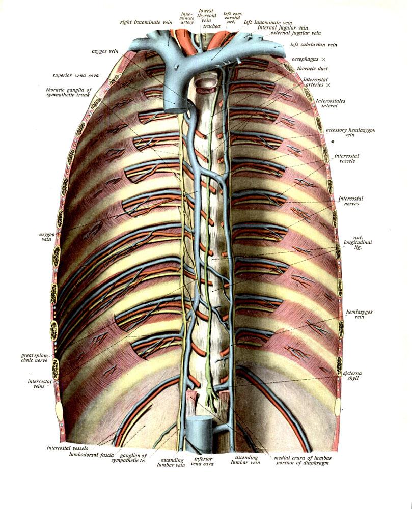 anatomyEXPERT - Accessory hemi-azygos vein - Structure Detail