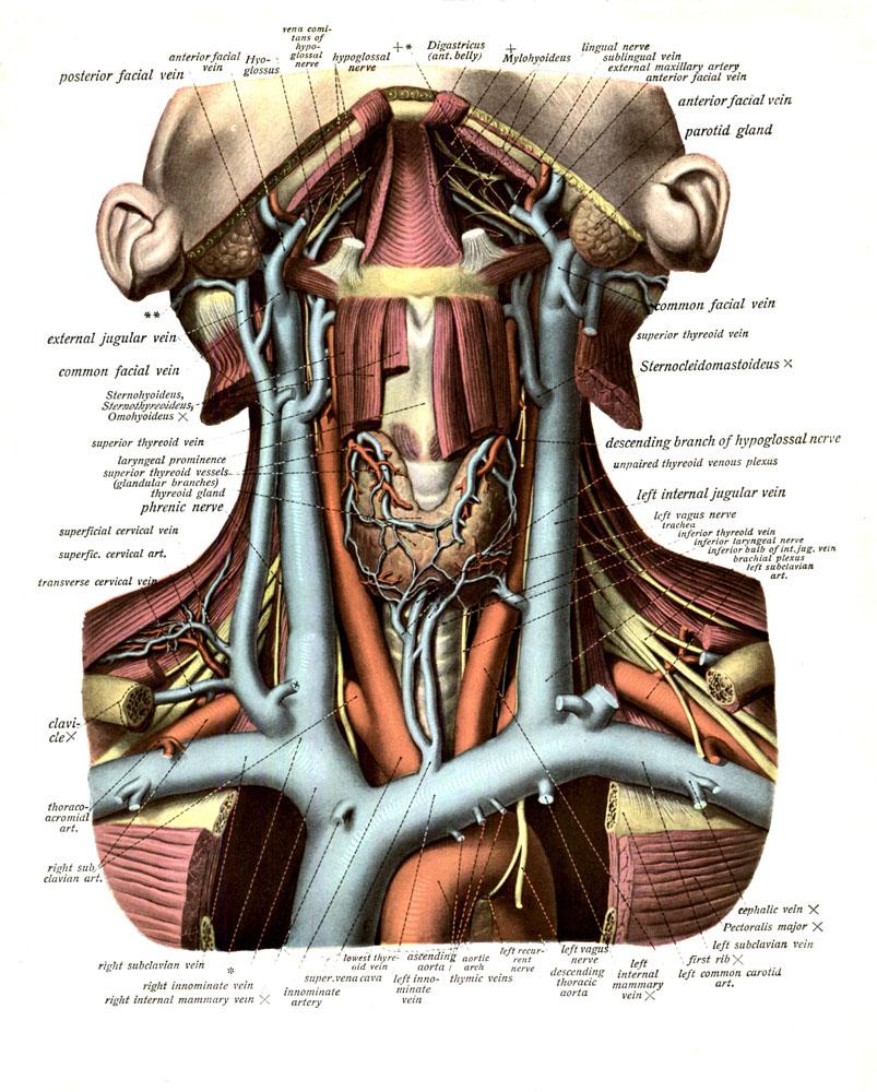 anatomyEXPERT - Left subclavian artery - Structure Detail