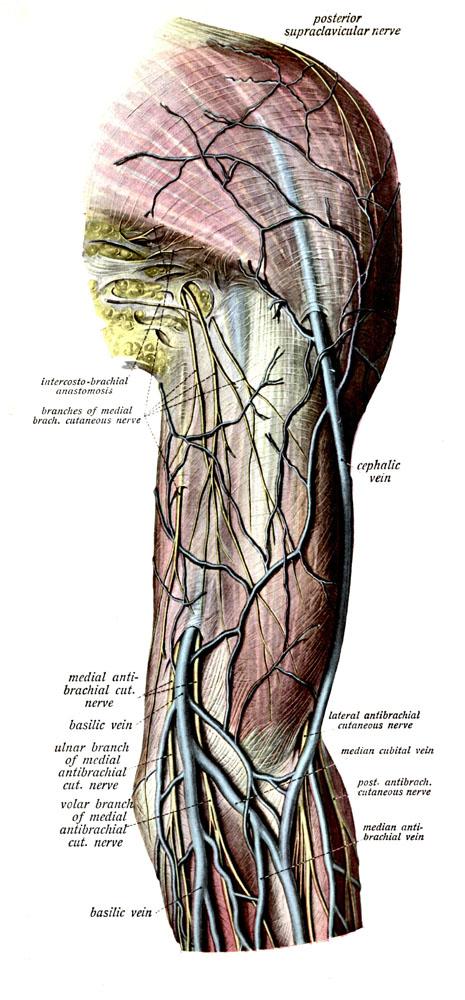 Anatomyexpert Median Cubital Vein Structure Detail
